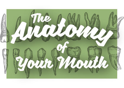 the anatomy of your mouth
